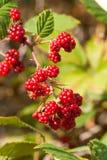 ежевика ягод зрелая Стоковое Фото