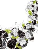 Ежевики в выплеске воды на белой предпосылке Стоковая Фотография RF