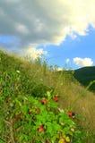 Ежевики лета Стоковое Изображение RF
