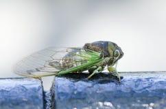 Ежегодная цикада Стоковые Изображения RF