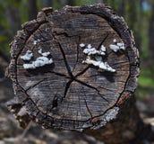 Ежегодные кольца на дереве acut Стоковая Фотография RF