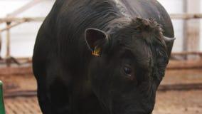 Ежедневная ферма Взрослая корова оставаясь на белом загоне и смотря вокруг сток-видео