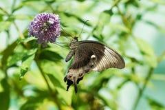 Ежедневный тропический lat Papilio Palinuro бабочки Palinurus Papilio, никто вышел на Buddle цветка Дэвида, или mutable lat Бушел Стоковое Изображение