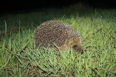 Еж в траве Стоковое Фото