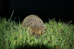 Еж в траве Стоковые Фото