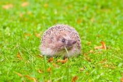 Еж в траве Стоковые Фотографии RF
