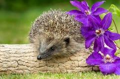 Еж, одичалый, родной еж с фиолетовым clematis Стоковое Фото