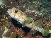 Еж рыба Стоковые Изображения