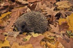 Еж, сезон осени, листья, Стоковая Фотография RF