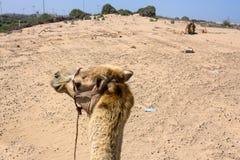 Езда верблюда на пляже Essaouira в Марокко Стоковое Изображение
