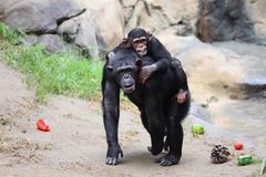 Езда обезьяны мамы и младенца Стоковое фото RF