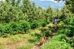 Езда работников через кофейную плантацию, Гватемалу Стоковая Фотография