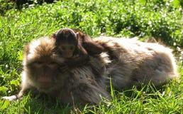 езда s обезьяны Стоковое Фото