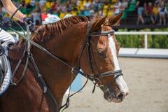 Езды наездника на конце лошади каштана вверх на фоне стоек со зрителями стоковое изображение
