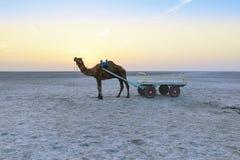 Езда верблюда захода солнца на большом Rann Kutch, Гуджарата Стоковая Фотография RF