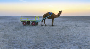 Езда верблюда захода солнца на большом Rann Kutch, Гуджарата Стоковые Изображения
