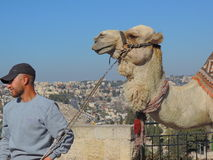 Езда верблюда на Mount of Olives Стоковая Фотография
