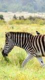 Езда зебры в Африке Стоковые Фотографии RF