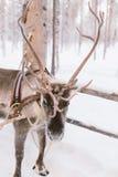 Езда саней северного оленя в Лапландии Стоковые Изображения
