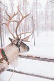 Езда саней северного оленя в Лапландии Стоковое Изображение RF