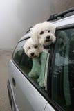 езда 2 собак автомобиля идя Стоковое Изображение