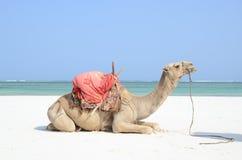 Езды верблюда на пляже Стоковые Фото