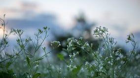 12, декабрь 2016 - цветок белого мустарда в бегстве Дуне Вьетнаме Dalat- Стоковые Фото