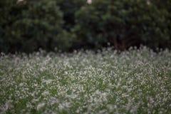 12, декабрь 2016 - цветок белого мустарда в бегстве Дуне Вьетнаме Dalat- Стоковое фото RF