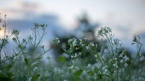 12, декабрь 2016 - цветок белого мустарда в бегстве Дуне Вьетнаме Dalat- Стоковое Фото