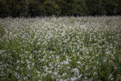 12, декабрь 2016 - цветок белого мустарда в бегстве Дуне Вьетнаме Dalat- Стоковые Фотографии RF
