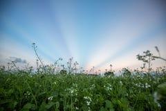 12, декабрь 2016 - цветок и лучи белого мустарда на предпосылке на небе в бегстве Дуне Вьетнаме Dalat- Стоковые Изображения RF
