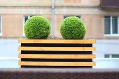 2 декоративных зеленых куста в форме шарика в деревянном цветочном горшке Стоковые Изображения RF