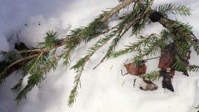 Елевая ветвь в снеге видеоматериал