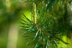 елевая хворостина стоковое фото rf