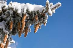 Елевые ветви и конусы покрытые с снегом против голубого неба Стоковые Фото
