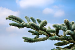 Елевые ветви против неба. стоковые фото