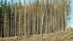 Елевые леса infested и атаковали европейским елевым typographus Ips бича жука коры, четкое бедствие причинили акции видеоматериалы