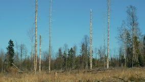 Елевые леса infested и атакованные европейским елевым typographus Ips бича жука расшивы, четким причиненным бедствием акции видеоматериалы