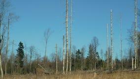 Елевые леса infested и атакованные европейским елевым typographus Ips бича жука расшивы, четким причиненным бедствием видеоматериал