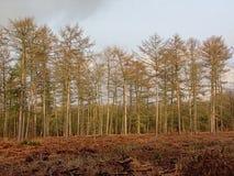 Елевый лес во фламандской сельской местности стоковые фотографии rf