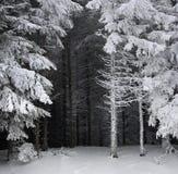 Елевый лес дерева покрытый снегом в ландшафте зимы Стоковые Фотографии RF