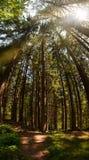 Елевый лес и солнце дерева выступая через treetops Стоковые Изображения RF