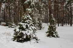2 елевых дерева в снеге в зиме паркуют в Kyiv Украина Стоковое Изображение RF