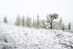 Ели в долине горы под снегом стоковые фото