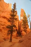 Ели и Hoodoos в парке каньона Bryce Стоковые Изображения RF