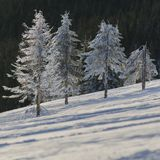Ели предусматриванные в снеге в прикарпатских горах сфотографировали в contre-jour Стоковая Фотография RF