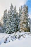 Ели предусматриванные максимумом снега в прикарпатских горах Стоковые Изображения RF