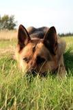 ельзаская собака Стоковое фото RF