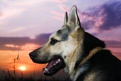 ельзаская собака стоковые изображения