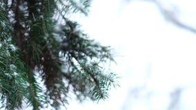 Ель ветви зеленая в снеге сток-видео